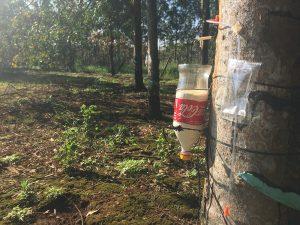hình ảnh thu hoạch theo phương pháp lấy mủ bằng khí ethylene